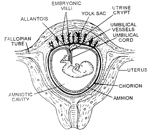391_embryonic membrane1.png