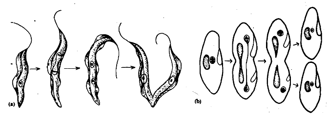 411_Reproduction and Life Cycles – Protozoan.png