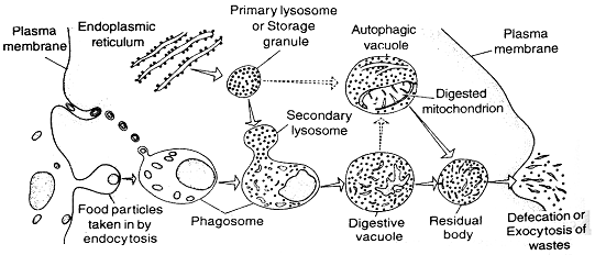 581_lysosomes.png