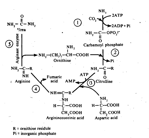 647_Ornithine-urea cycle.png