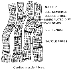 656_cardiac muscles.png