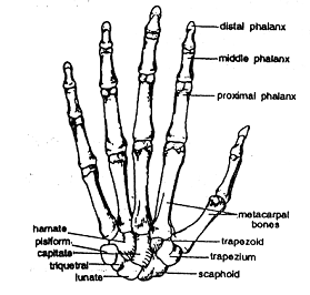 In hand wrist palm fingers are clear in wrist carpals bones are