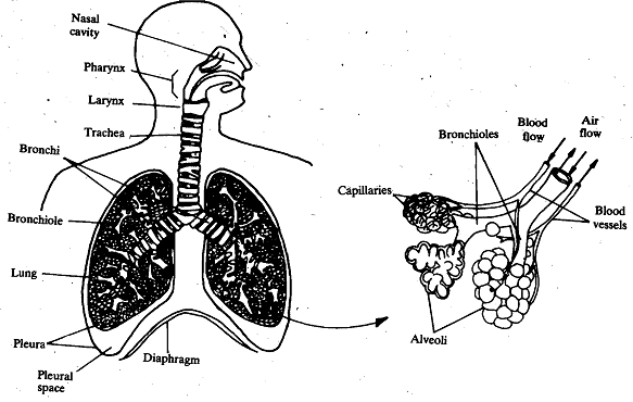 684_Mammalian Lungs - Respiration.png
