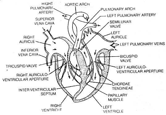688_heart structure.png