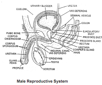 700_male reproductive system.png