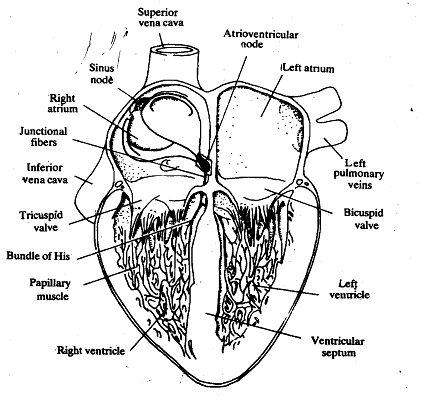 774_Mammalian Heart.png