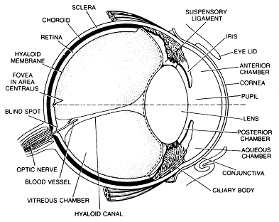 780_eye structure.png