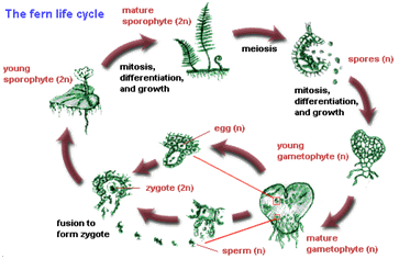 ferm life cycle essay What is the difference between the life cycle of ferns and mosses plant life cycles - developmental biology - ncbi bookshelf  scholarship essay writing help.