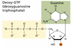 81_guanine.png