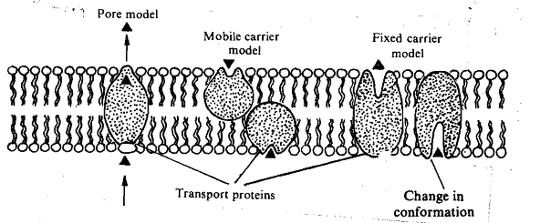 867_Transport with the Help of Membrane Protein.png