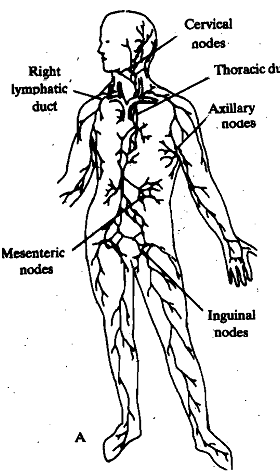 940_Lymphatic System - Circulation.png