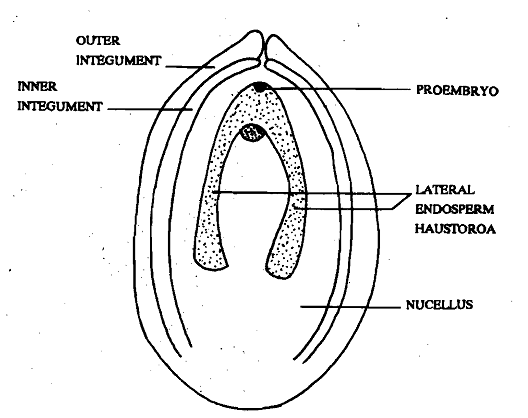 960_Endosperm with Lateral Haustoria.png