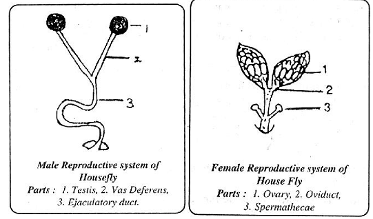 962_the reproductive system of house fly.png