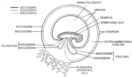 977_embryonic membrane.png