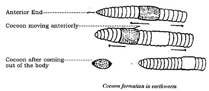 981_Formation of cocoon in earthworm.png